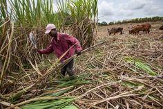 Dominican Republic sugar cane cutters