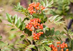 Mountain Ash photo berry photo flower picture by Turtlesandpeace