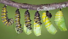 Caterpillars go through a metamorphosis and change into butterflies or moths.