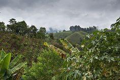 Coffee Farm, Pereira, Colombia