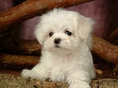 White Maltese Puppy Dogs All about dogs Cute Baby Puppies, White Puppies, Fluffy Puppies, Baby Dogs, Cute Dogs, Dogs And Puppies, Doggies, Cutest Puppy, Animals And Pets