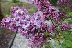 Fichas de plantas: http://www.elhogarnatural.com/fichas%20A/AZ%20fichas/FichasdesdeAbeliaaAztekium.htm