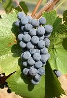 Regent - a promising cold hardy grape from Germany. Very disease resistant. Outstanding wine!!