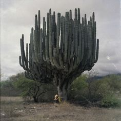 Cactus big as a tree