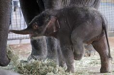 Anachli is an Asian elephant who was born in Berlin on just three days ago!
