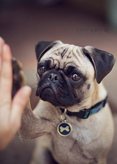 Puggy Hi-five!