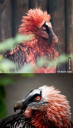 Red Bearded Vulture - That creature is a living artifact! Unusual Animals, Rare Animals, Beautiful Creatures, Animals Beautiful, Dragon Bird, Beautiful Bugs, Wild Creatures, Pretty Birds, Birds Of Prey