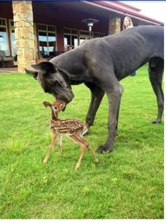 Great Dane nuzzles fawn.