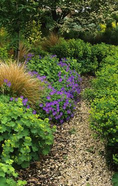 Alchemilla, Geraniums, euphorbia w/contrasting buff grasses under flowering tree (prunus???)