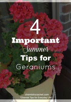 Chemistry Cachet's four easy important summer tips for geraniums. Check out these tips to keep your geraniums healthy during the summer months! Pruning Geraniums, Geraniums Garden, Potted Geraniums, Red Geraniums, Potted Plants, Garden Plants, Overwintering Geraniums, Garden Pavers, Garden Pool