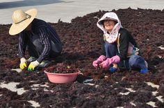 Seleccionando algas en la isla de Udo, Corea del Sur.