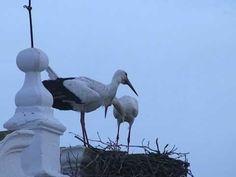 Aves en Mérida (España): la cigüeña blanca