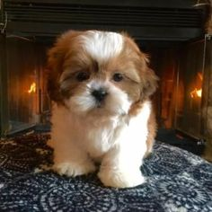 Shichon Christmas Puppies - (Shih Tzu/Bichon Frise) aka (Teddy Bears) #shihtzu