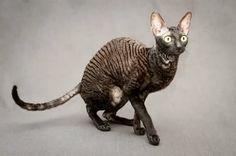 Cornish Rex Cat, Cat Reference, Kangaroo, Animals, Baby Bjorn, Animales, Animaux, Animal, Animais