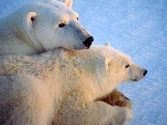 Bay Polar Bears