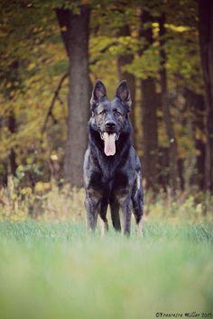 German Shepherd Photography