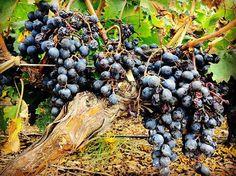#grapes #wine #mendoza #wineyard #nature #uvas #vino #zuccardi #valledeuco #malbec #photography #joakomendonca http://ift.tt/1Mu8ciD