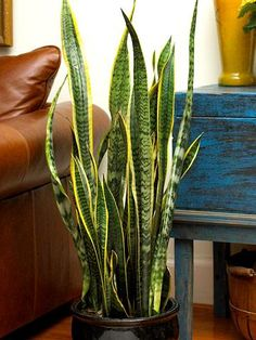 Sansevieria, snake plant, mother-in-law's tongue-just call it super easy. Low light to bright light, moderately dry soil.