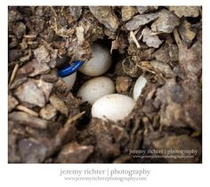 Blue-Tailed Skink Nest with Eggs in our Backyard