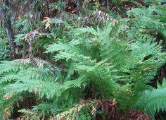 Giant Chain Fern (Woodwardia fimbriata) - native to California Yoga Garden, Forest Service, Native Plants, Fern, New Friends, Nativity, Trail, California, Gardening