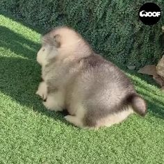 Baby Animals Super Cute, Cute Baby Dogs, Cute Funny Dogs, Cute Little Animals, Cute Funny Animals, Baby Cats, Baby Animals Pictures, Cute Animal Pictures, Cute Husky Puppies