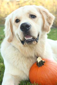 Teddy golden retriever pumpkin October