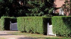Ligusterhecken sind ein beliebter Sichtschutz für viele Vorgärten. (Quelle: imago/Redeleit)