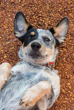 Australian cattle dog (Blue Heeler)