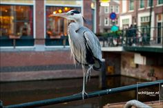 the heron is also a city dweller