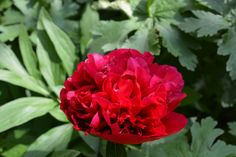 Pioni avautuu | Vesan viherpiperryskuvat – puutarha kukkii
