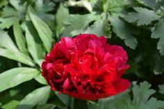 Pioni avautuu   Vesan viherpiperryskuvat – puutarha kukkii