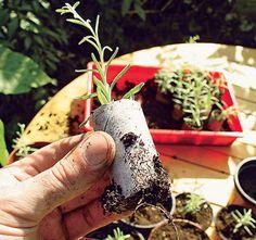 Stecklinge von Lavendel selber züchten – Schritt 7 von 7