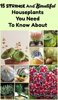 15 Strange And Beautiful Houseplants You Need To Know About - Sassy Townhouse Living #Gardening #Plants #Succulents #Houseplants