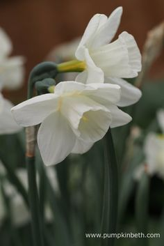 Narcissus 'Curlew' pictured during my Scented Daffodil Trial - Pumpkin Beth