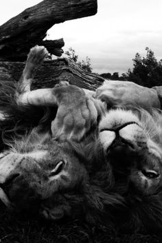 I saw a male and female lion cuddling and upside down like this at the zoo