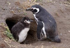 Changing Climate Kills Magellanic Penguin Chicks | Science/AAAS | News Burrowing birds. An adult Magellanic penguin meets its chick at the mouth of their burrow in South America.