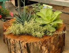 Mayflower Greenhouse Succulents in Stump