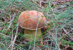 Jak poznat nejběžnější hřiby   atlas hub