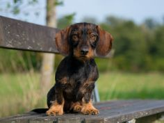 Petra Spoerle-Strohmenger - Dackel-Hundefotografie