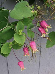 Clematis glaucophylla, Leather Flower, Whiteleaf Leather Flower