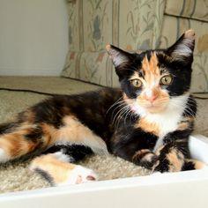 My baby Katniss! Calico cat :)