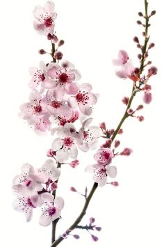 Cherry tree blossoms, by Harold Davis