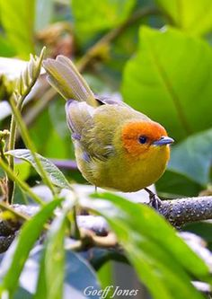 Rust-and-yellow Tanager (Thlypopsis ruficeps)  by Goeff Jones