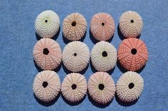Set of 10 Natural Pink Sea Urchins 1-2 inches by LulusSecrets