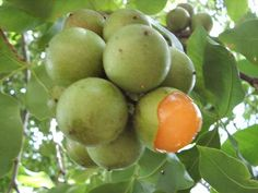 Mamones - my favorite fruit from my childhood days in Panama! Oh I wish they had them here.