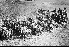 Image detail for -... black and white photo of horse drawn farm equipment with many horses