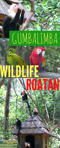 Roatan Honduras is covered in jungle. An excursion to Gumbalimba park will get you close to Roatan monkeys, parrots and wildlife! Get help planning things to do in Roatan on the blog.