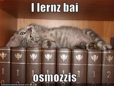 I'z up heer. Funny Cats, Funny Animals, Cute Animals, Crazy Cat Lady, Crazy Cats, Owning A Cat, Funny Cat Pictures, Funny Images, Study Tips