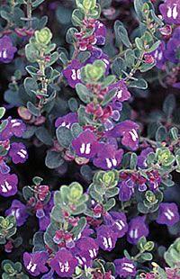 Scutellaria resinosa - Skull Cap Missouri wildflower