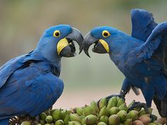 Blue Macaw Pictures. Hyacinth Macaw, also known as the Blue Macaw are the longest of all Macaws. Checkout Hyacinth | Blue Macaw Pictures and various others here on our website